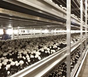 Впервые за 15 лет объем производства гриба в Украине сократится