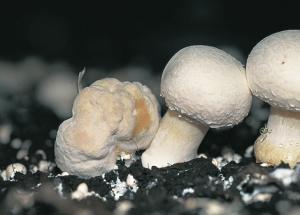 [T._Fletcher,_John]_Mushroom_Pest_and_Disease_Cont(BookZZ