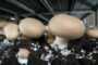 Обзор рынка гриба за 27 ноября. Идеальный гриб разбирают, а если похуже - требуют сбавить цену