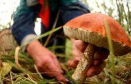Середина сентября – начало сезона, когда лесной гриб начинает конкурировать с шампиньоном