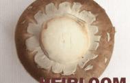 Советы по выращиванию коричневого шампиньона Amycel Heirloom