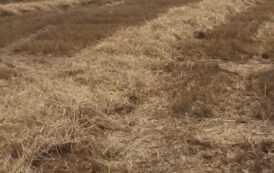 Себестоимость соломы выросла, урожайность отличалась в зависимости от региона. Компостные дворы Украины рассказали УМДИС как собрали солому