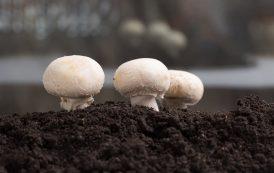 Спрос на гриб оживился
