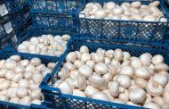 Кто сегодня покупает гриб на оптовых рынках